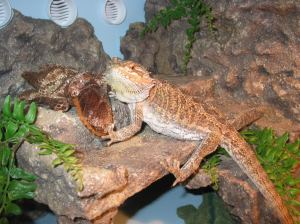 Brutus the Bearded Dragon at home